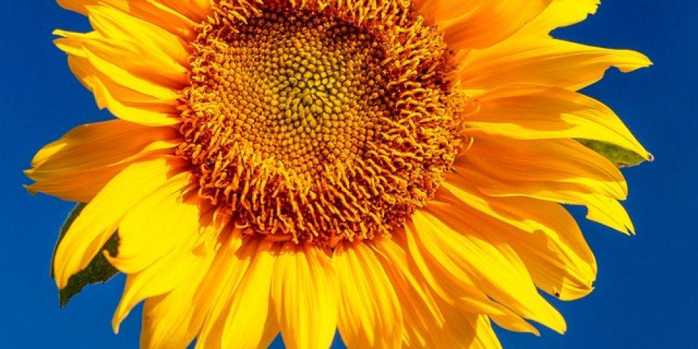 Waldorf 100 Sonnenblumen
